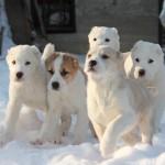 Сколько стоит щенок алабая?