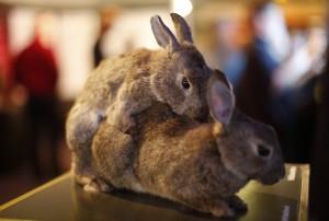 Размножение у кроликов