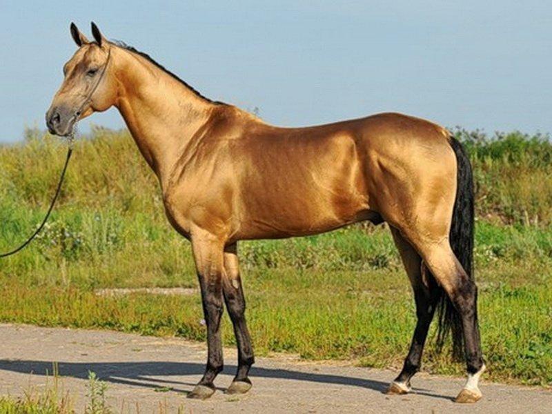 Буланая масть лошади