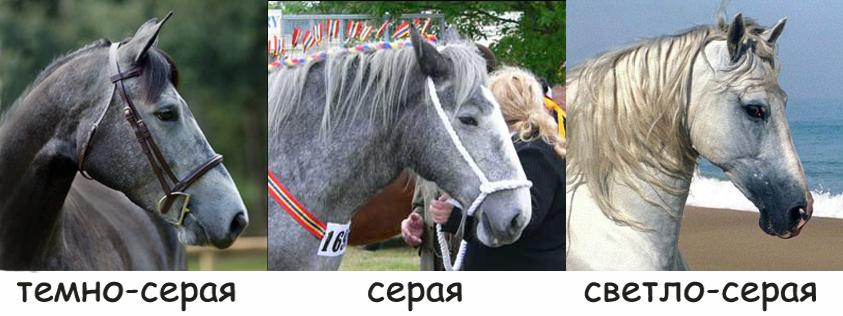 Серая масть лошади