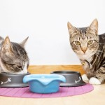 Можно ли кошкам сливочное масло?