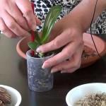 Можно ли пересаживать цветущую орхидею?