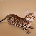 Сколько стоит бенгальский котенок?