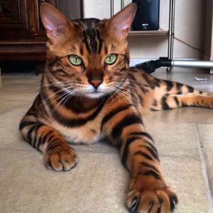 Бенгальский кот по кличке Тор