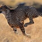 Почему гепард самый быстрый?