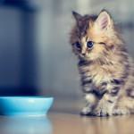 Что делать, если котенок не ест?
