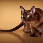 Сколько стоит котенок бурмы?
