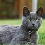 cats-pictures-org_-_2486-1000x718-russianblue-paulbagshaw-solo-mioticpupil-lying-greeneyes