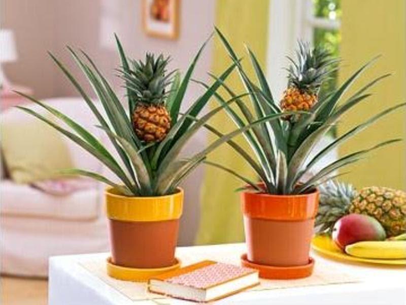 Как ухаживать домашним условиям ананасами