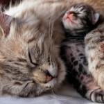 Как рожают кошки?