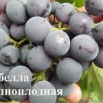 Изабелла виноград: описание