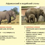 Сколько живут слоны?