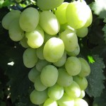 Виноград адлер: описание