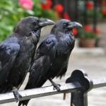 Сколько живут вороны?