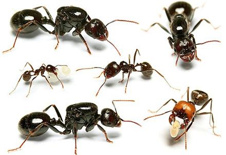 Сравнение муравьёв разных видов