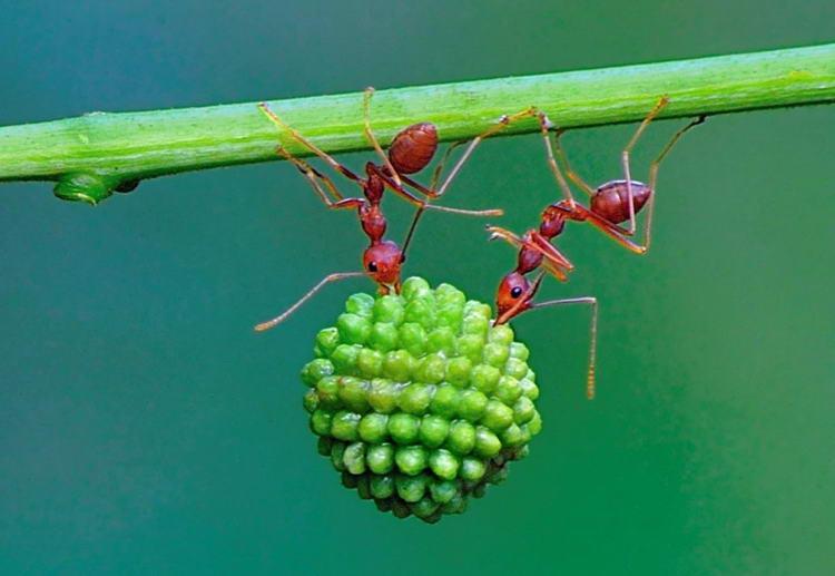 Красные муравьи балансируют с семенами мимозы.