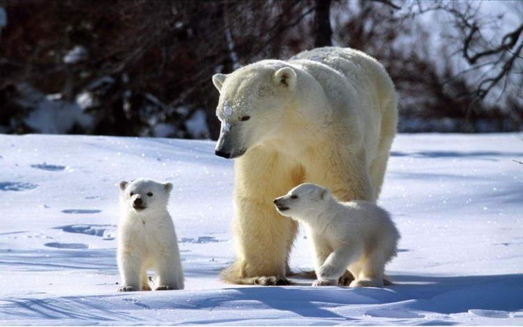 Полярные медведи