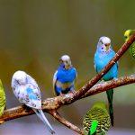 Волнистые попугайчики: факты