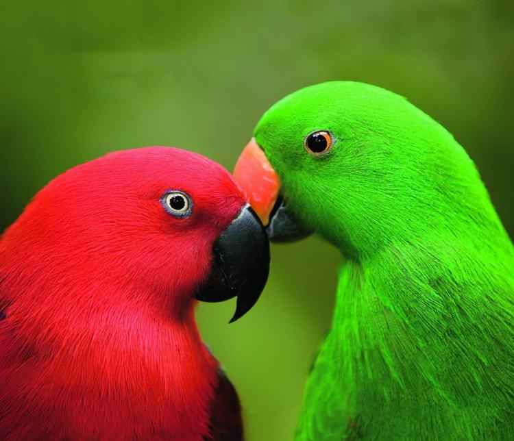 Королевский попугай самка и самец