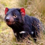 Какие животные обитают в Австралии?