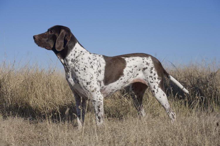 апсо собака фото
