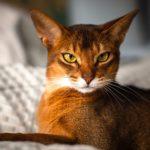 Сколько стоит абиссинская кошка?