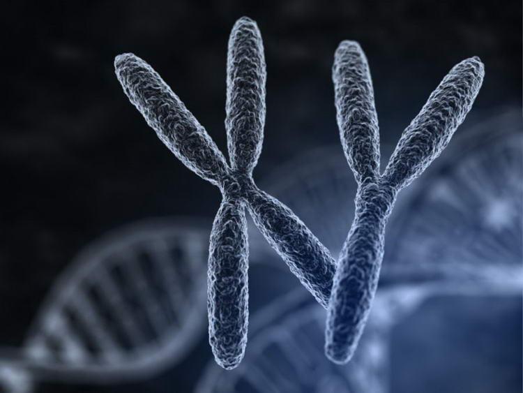 хромосома xy и xx