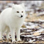 Песец – обитатель арктических пустынь