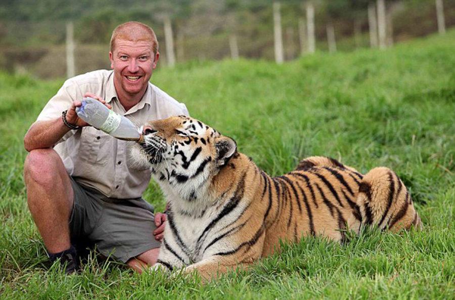 Амурский тигр Шошо и его друг, смотритель парка для тигров в Южной Африке возле города Порт-Элизабет, Эшли Гомберт