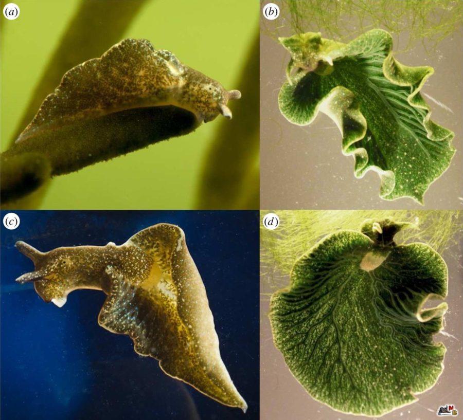 Взрослые особи Elysia chlorotica являются синхронными гермафродитами