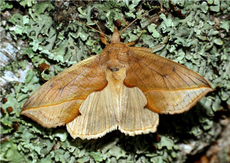 бабочки-вампиры