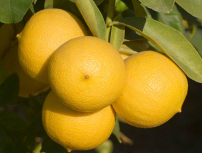 Желтые плоды бергамота