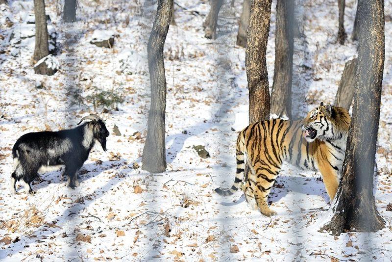 Знаменитые тигр Амура и козел Тимур