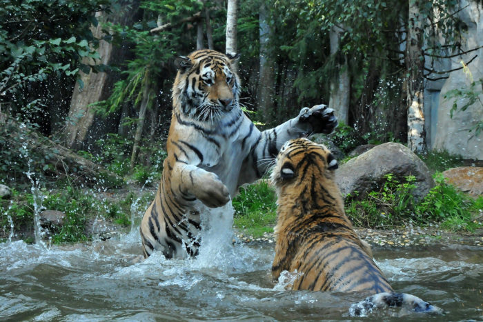 Битва амурских тигров за территорию