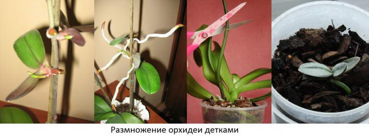 Фото размножается орхидеи фаленопсис в домашних условиях