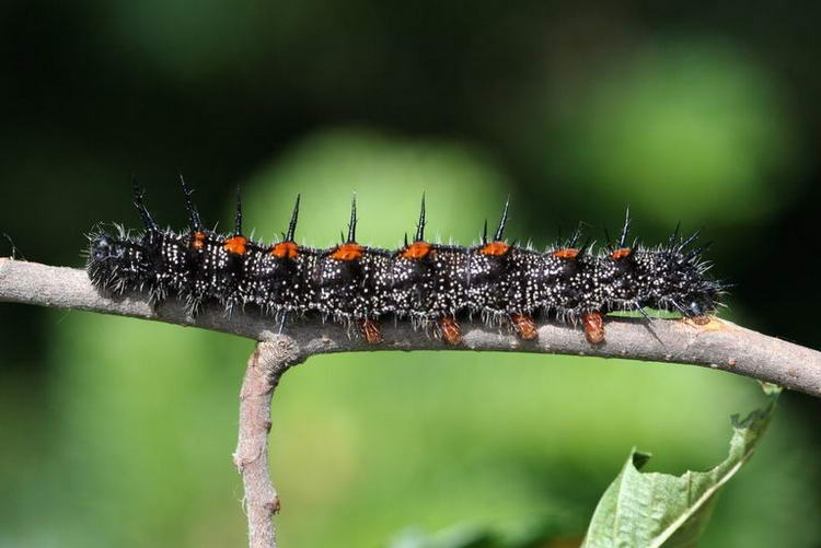 Гусеница бабочки траурницы. Стивен Катовиц, USDA, Bugwood.org