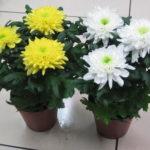 Почему домашняя хризантема не цветет?