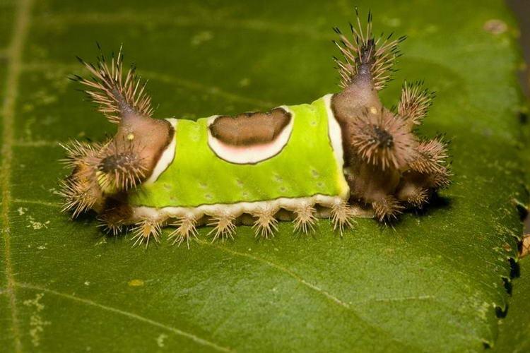 Седлистая гусеница. Getty Images/ Danita Delimont