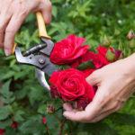 Почему домашняя роза сбрасывает листья?