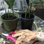 Как правильно посадить розу (+ видео)