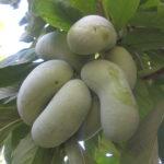 Как выращивать азимину из семян?