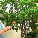 Фикус Бенджамина уход в домашних условиях (+ фото, видео)