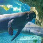 Интересные факты о дюгонях – представителях морской фауны
