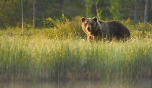 Медведи гризли могут выступать в роли индикаторов здоровой экосистемы на определённой территории Канады.