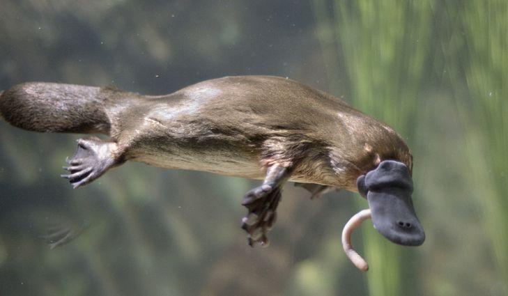Утконос, поедающий червяка.
