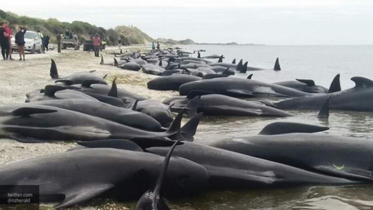 В Новой Зеландии на берег выбросились более 400 дельфинов