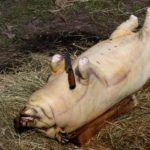 Сколько в свинье мяса?