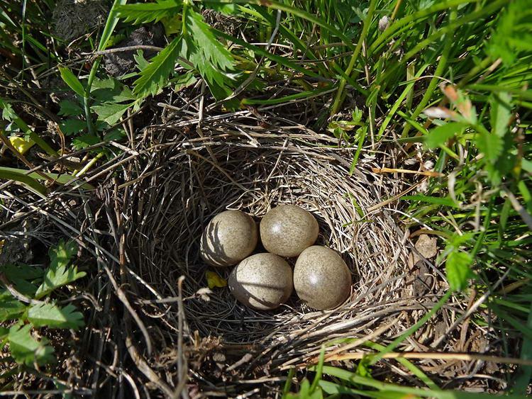 Гнездо жаворонка.