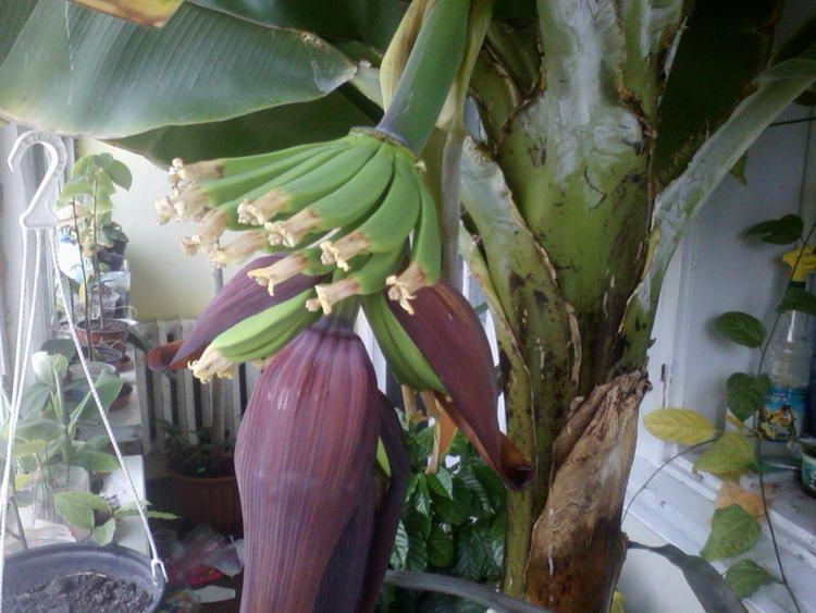 Банан комнатный карлик