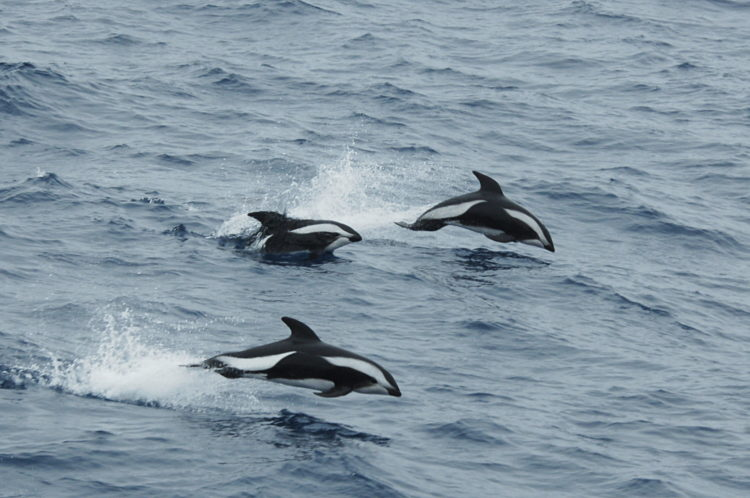 Крестовидный дельфин